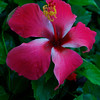 This hibiscus was outside our room in akumal and was a great color.