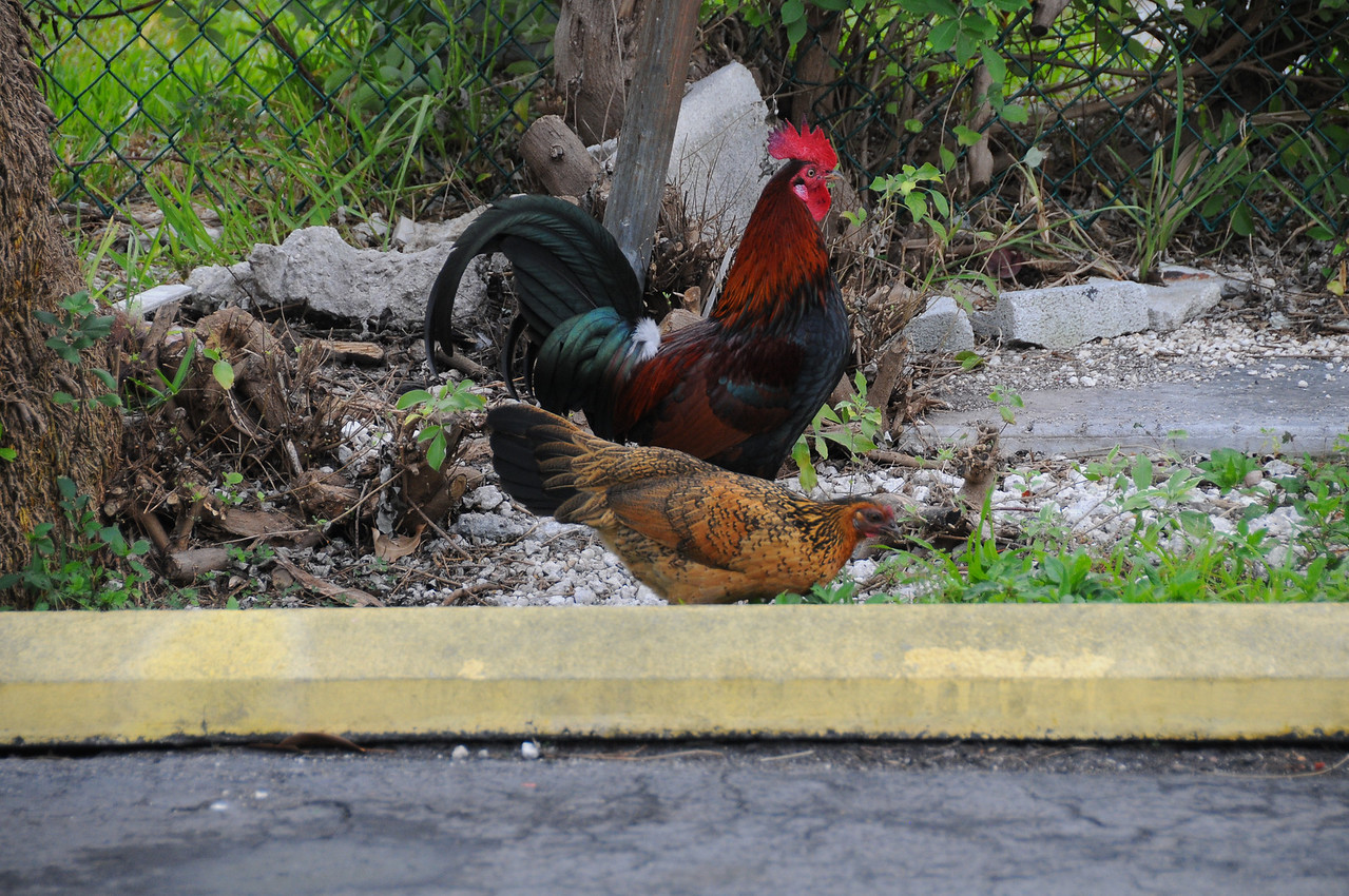 Rooster watching over  Hen, Key West, Florida - December 2012