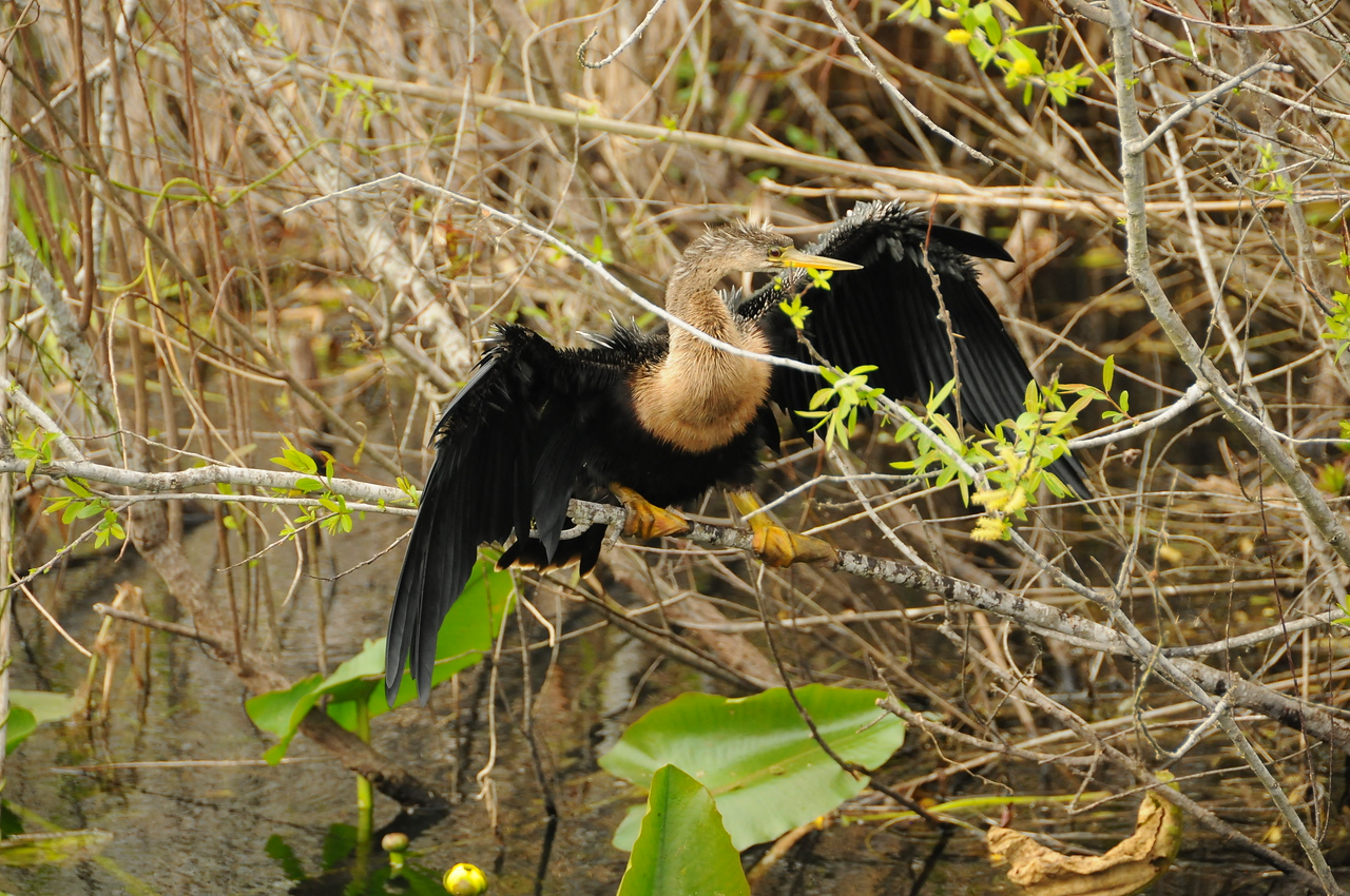 Anhingas in Florida Everglades - December 2012