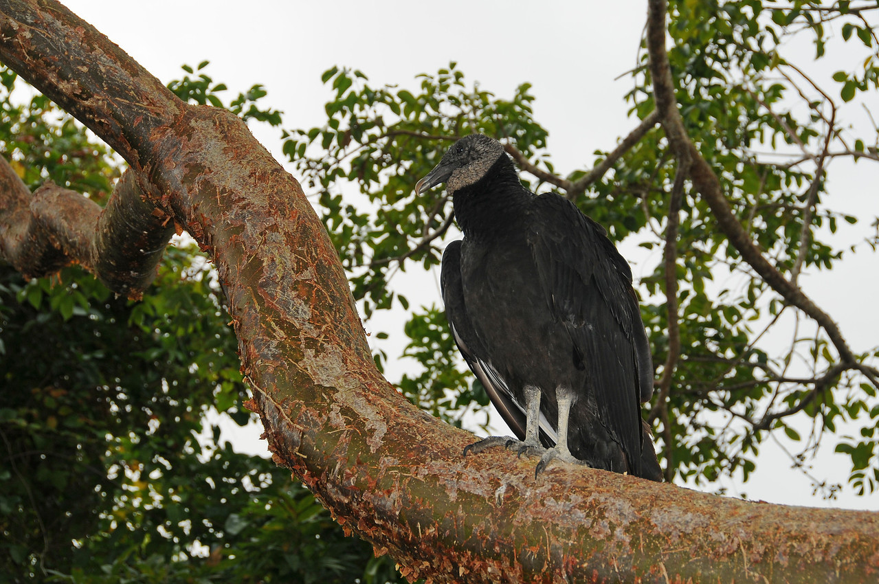 Vulture perched in tree, Florida Everglades - December 2012