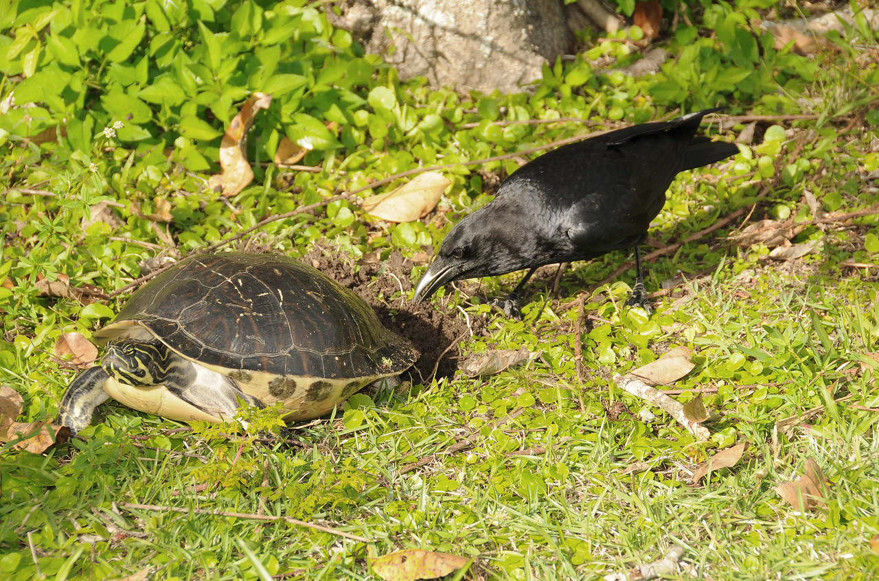 Crow harassing Turtle, Florida Everglades - December 2012