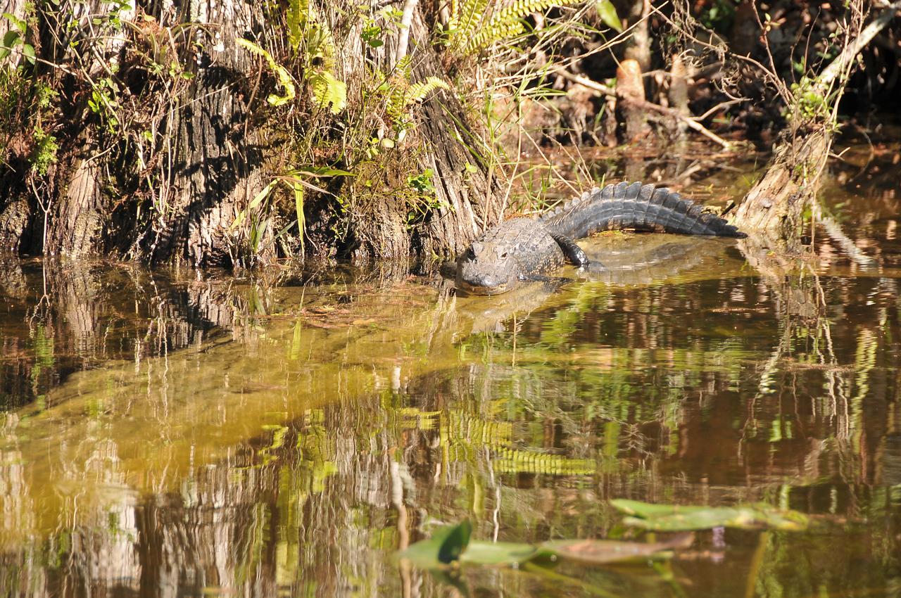 Alligator sunning itself, Florida Everglades - December 2012