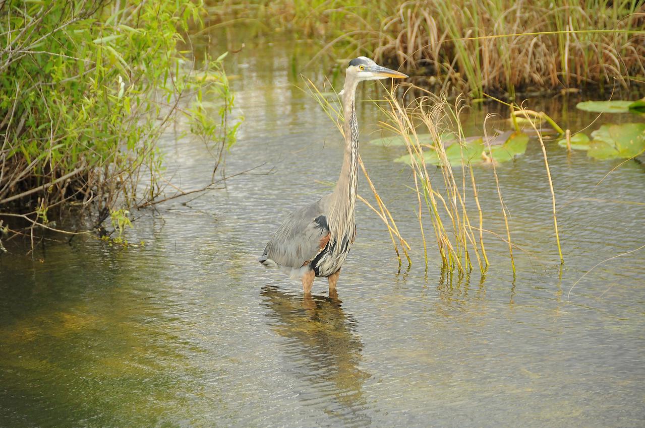 Blue Heron hunting, Florida Everglades - December 2012