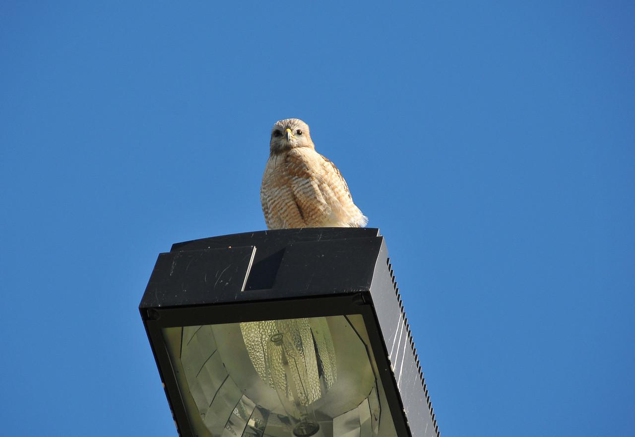 Hawk perched on light, Florida Everglades - December 2012