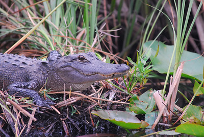 Ahh! here comes the alligator