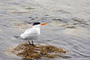A Common Tern resting on the waters