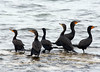 A bunch of Cormorants waiting around
