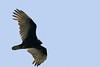 A Turkey Vulture surveys the land.