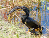 Yumm - A male Anhinga at lunch.