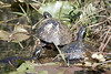 A few Red Bellied Turtles bask in the sun