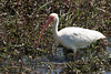 A White Ibis foraging in the swamp