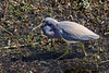 A Blue Heron foraging in the swamp.