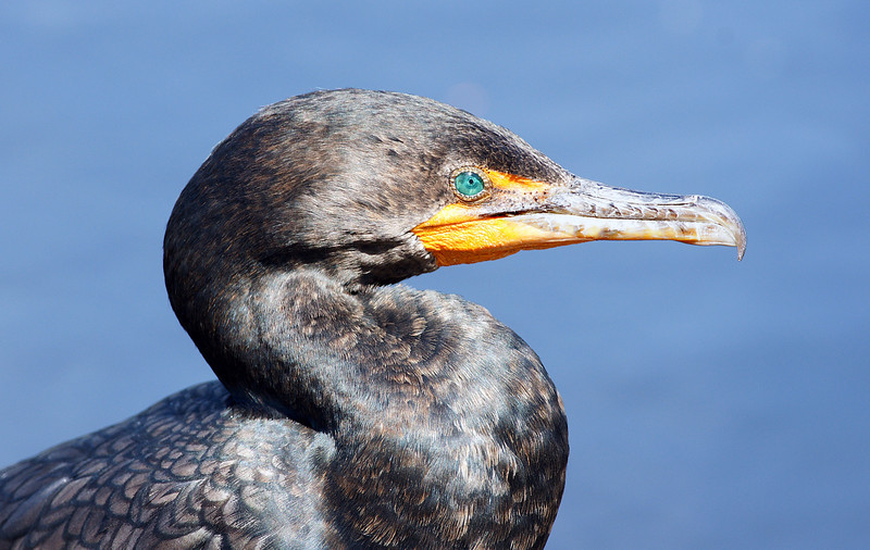 The mesmerizing green eye of a Cormorant.