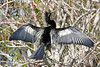 A male Anhinga dries off its plumage