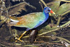 The beautiful Purple Gallinule stands out from the filth it's foraging in.