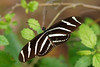 A Zebra Longwing Butterfly.