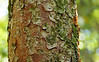 The beautiful peeling bark of a Gumbo Limbo tree