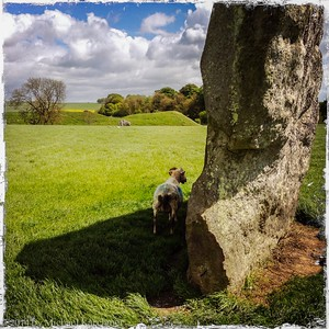 Avebury Standing Stone providing some shade for a ram (May, 2014)