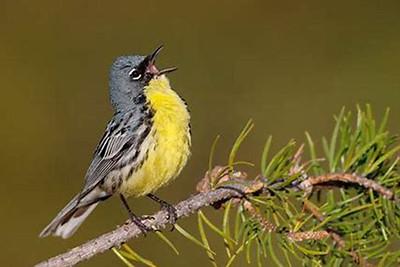 Singing Kirtland's Warbler