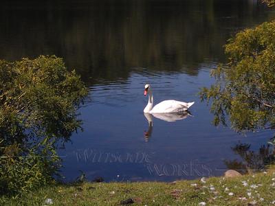 Swan at Gallup Park, Ann Arbor