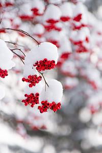Snow-covered Ornamental Cherry Tree