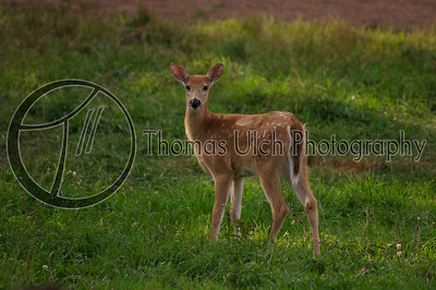 White-tail deer fawn. Upper Peninsula, Michigan. U.S.A.
