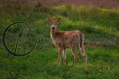 White-tail deer fawn. Upper Peninsula, Michigan. U.S.A.