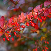 Cotoneaster Fall Colors
