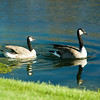 Canadian Geese in Development Pond