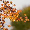Fall Cherries