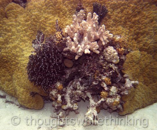 Micronesia 2007 : Ulithi coral IMG204