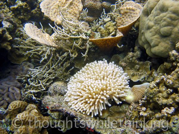Micronesia 2007 : Palau anemone IMG_1204.JPG