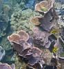 Micronesia 2007 : Palau flower leather coral IMG_1186.JPG