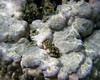 Micronesia 2007 : Ulithi fluted giant clam IMG_1440.JPG