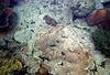 Micronesia 2007 : Palau sheet coral IMG129