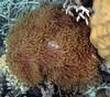 Micronesia 2007 : Palau anemone IMG083