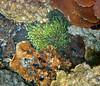 Micronesia 2007 : Palau colonial coral (green), IMG_1183.JPG