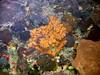 Micronesia 2007 : Palau coral IMG_1171.JPG