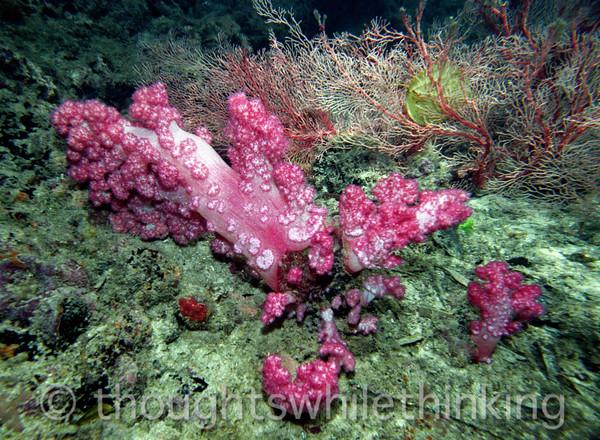 Micronesia 2007 : Palau tree coral IMG141
