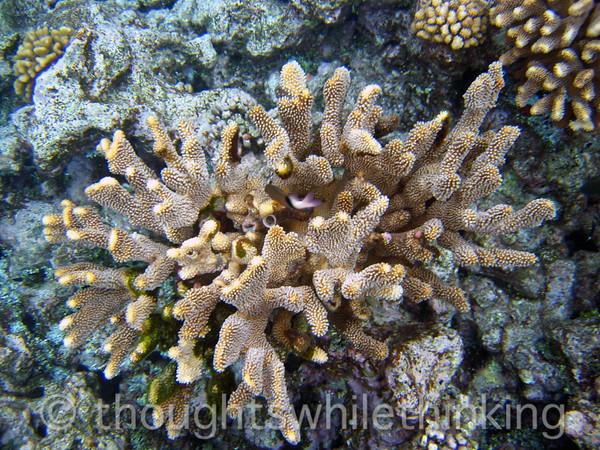 Micronesia 2007 : Ulithi coral pocillopora eydouxi IMG_1293.JPG