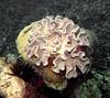 Micronesia 2007 : Palau mushroom leather coral IMG104