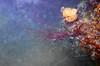 Micronesia 2007 : Palau sea fan coral IMG_1198.JPG