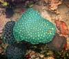 Micronesia 2007 : Palau coral Favia or Diploastrea heliopora IMG_1176.JPG