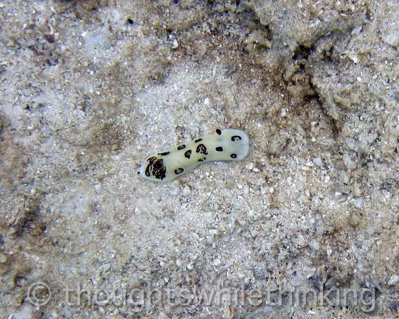 Micronesia 2007 : Palau nudibranch Jorunna funebris IMG_1264.JPG