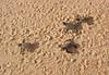 Micronesia 2007 : Ulithi - Gielop Island green sea turtle hatchlings IMG_1490.JPG