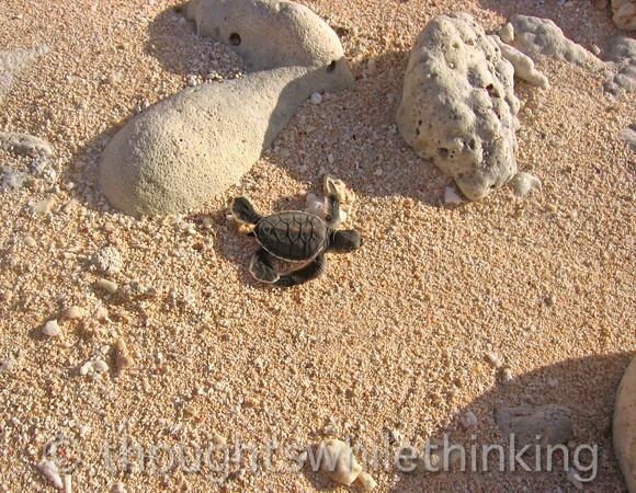 Micronesia 2007 : Ulithi - Gielop Island green sea turtle hatchling IMG_1491.JPG