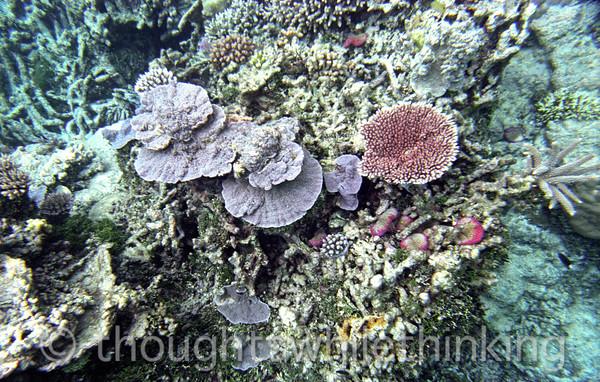 Micronesia 2007 : Palau coral IMG040