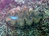 Micronesia 2007 : Palau giant clam IMG_1132.JPG