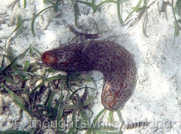 Micronesia 2007 : Yap sea cucumber Bohadschia argus IMG035