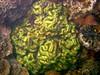 Micronesia 2007 : Palau brain coral IMG_1191.JPG